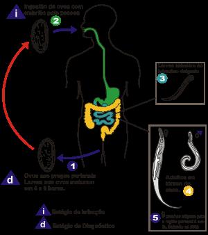 oxiuros ciclo vital