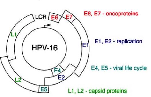 l papillomavirus
