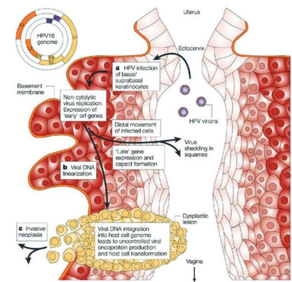 lien entre papillomavirus et cancer du col de luterus vaccino papilloma virus seconda dose