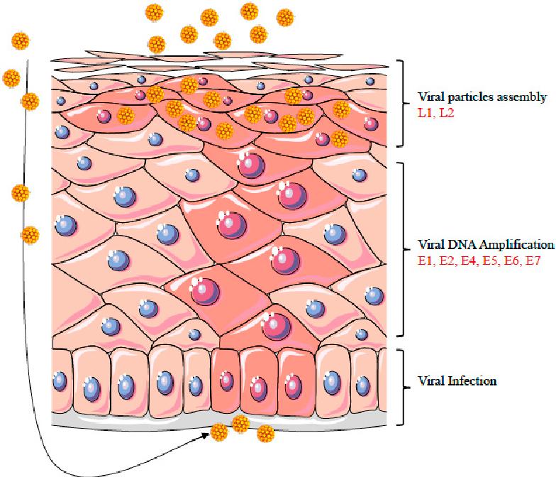 human papillomavirus replication hpv virus cancer symptoms
