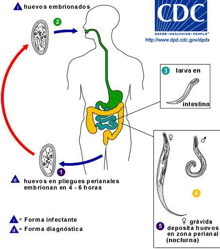 enterobiasis ciclo de vida cancer la gat sanse de supravietuire