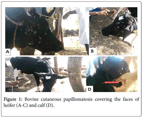 papilloma pada sapi