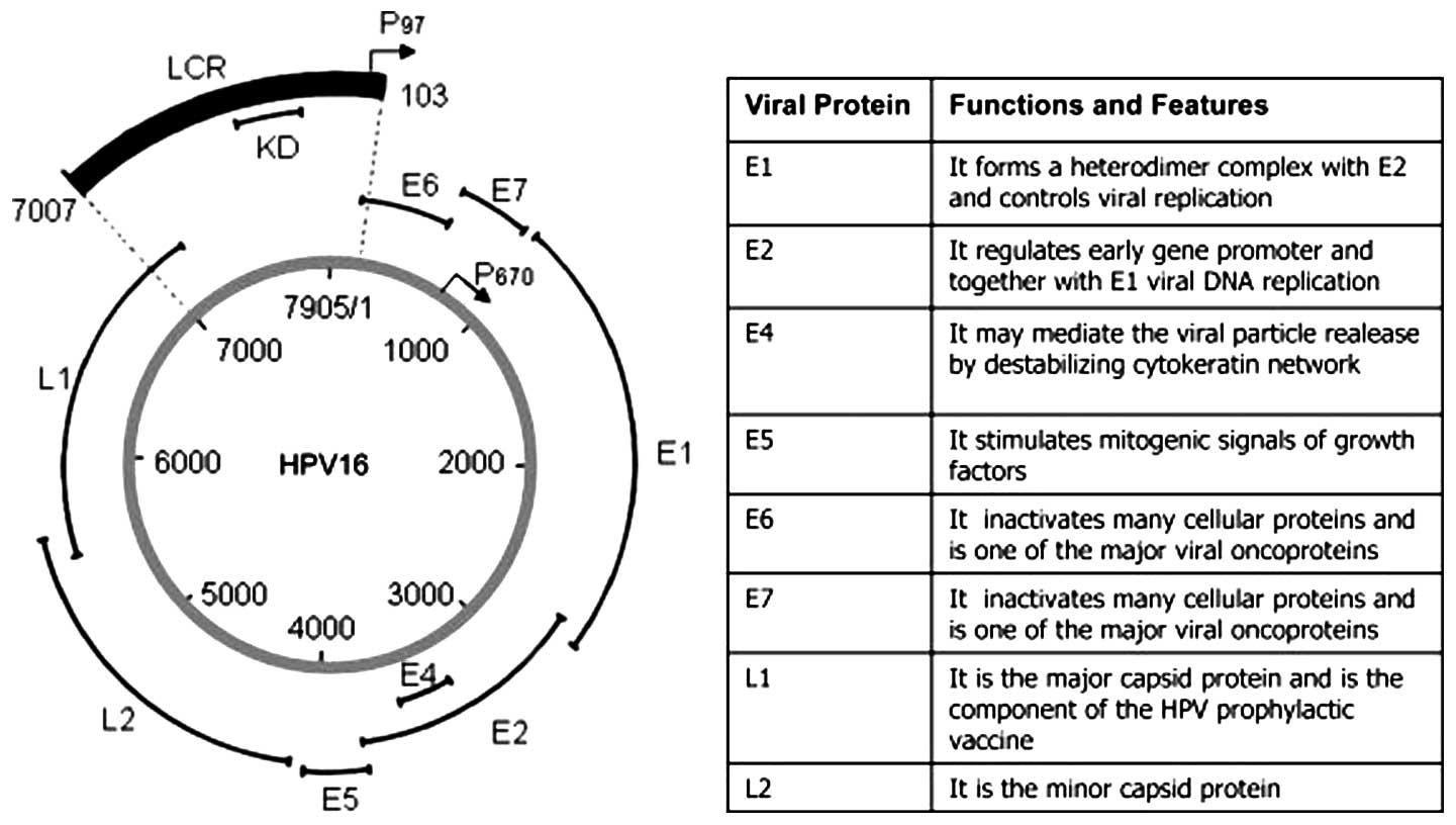 il papilloma virus fa dimagrire parazitii toate s la fel