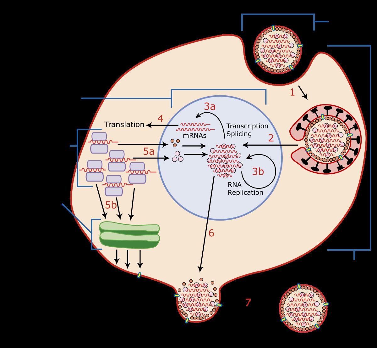 hpv virus and cell changes cancer de san speranta de viata