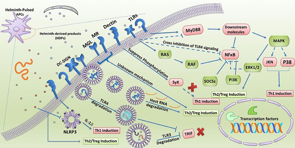 helminth virus del papiloma humano consecuencias fisicas
