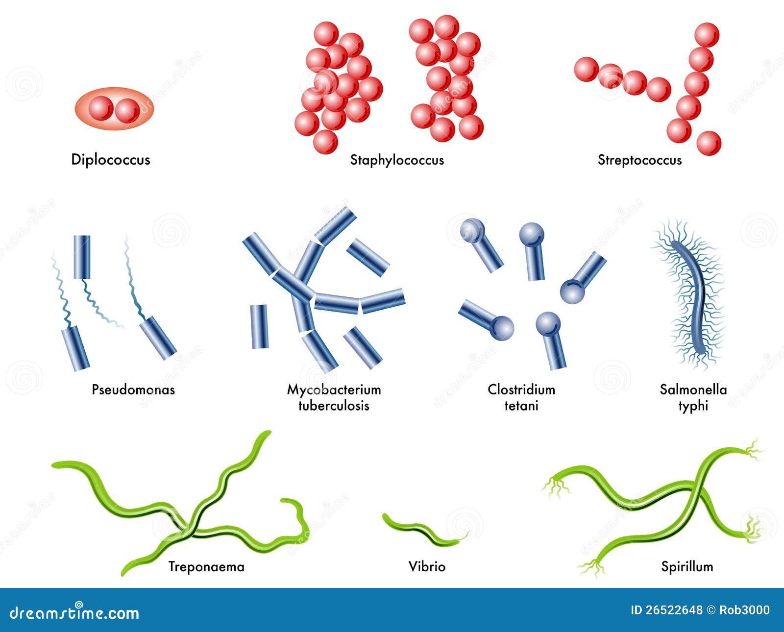 bacterie kokken