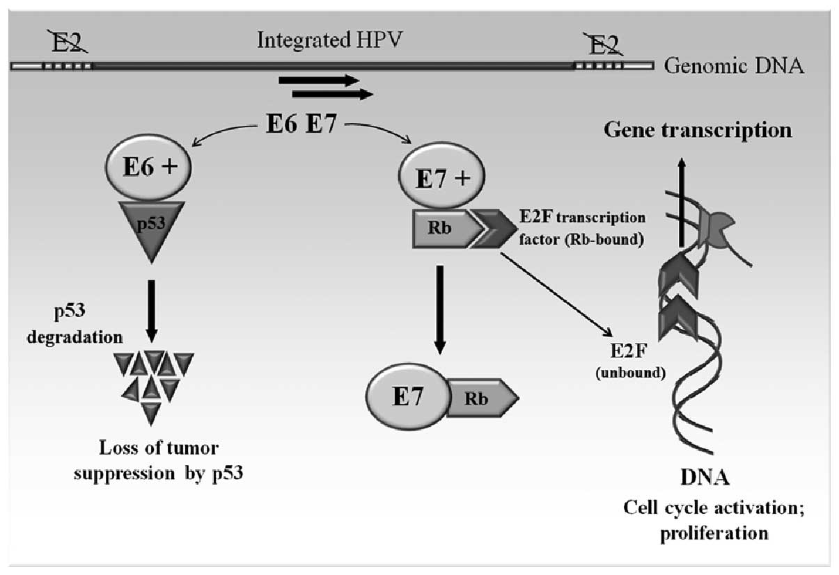 papillomavirus is oncogenic