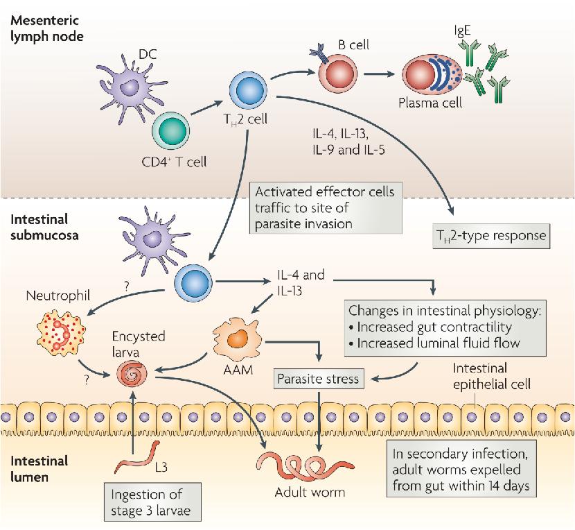 helminthic innate immunity