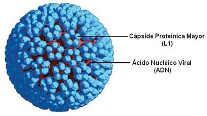 virus papiloma humano morfologia