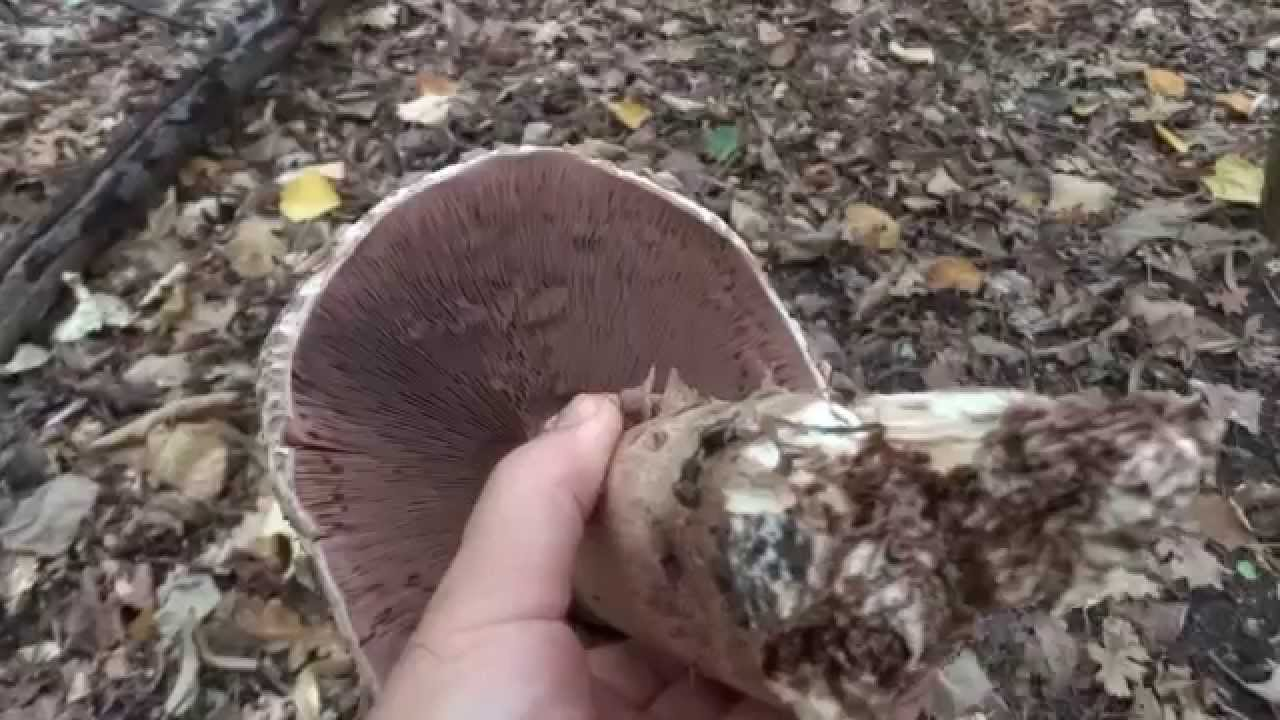 3 exemple de ciuperci comestibile