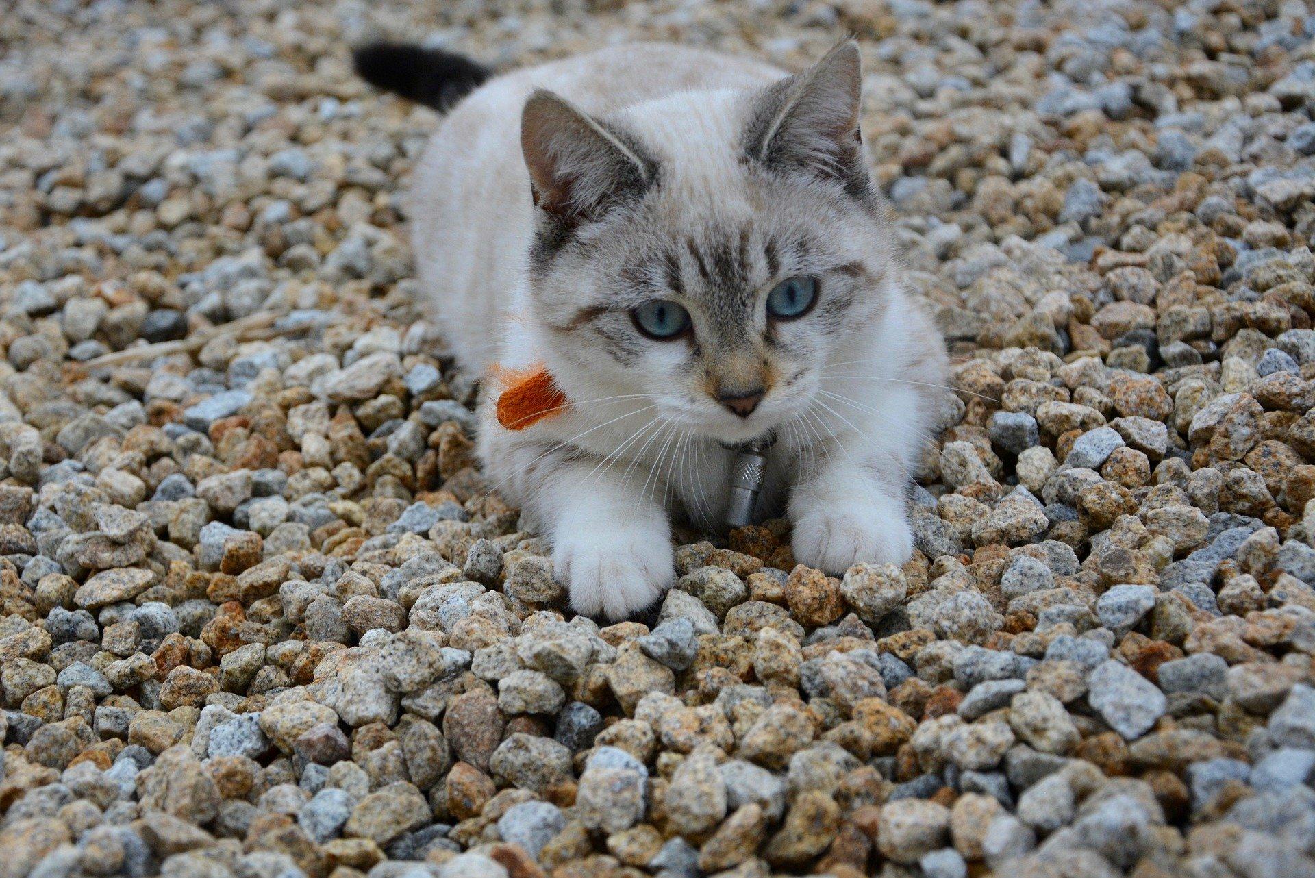 papilloma virus nel gatto breast cancer hormonal drugs