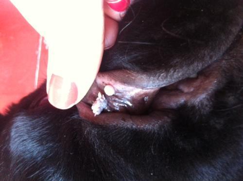 papilloma virus cane contagio detoxifiere prin osmoza