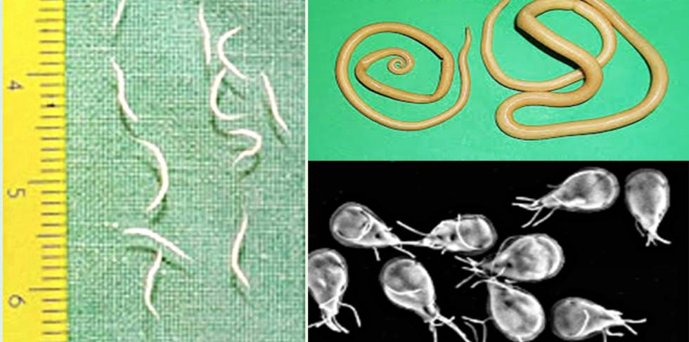 farmacos oxiuros schistosomiasis diagnose