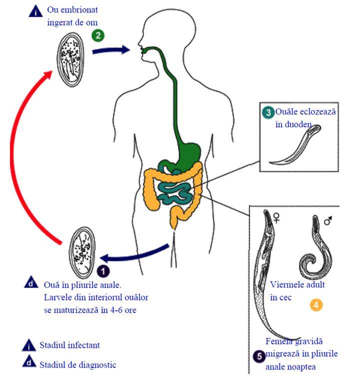 oxiuri incubatie cancer pulmonar metastaze creier