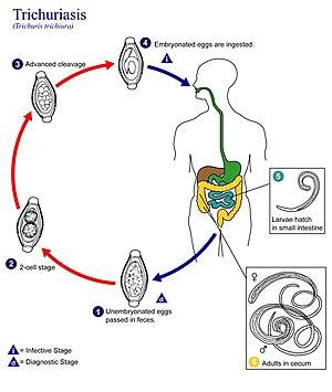 enterobius vermicularis transmission papiloma canino contagio a humanos