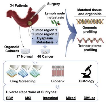 gastric cancer organoids human papillomavirus oncogenesis