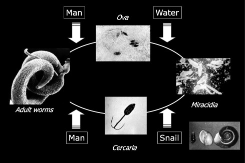 schistosomiasis a review