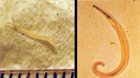 helminții wart virus in cervix