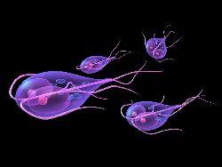 vierme giardia virus del papiloma humano en hombres gpc