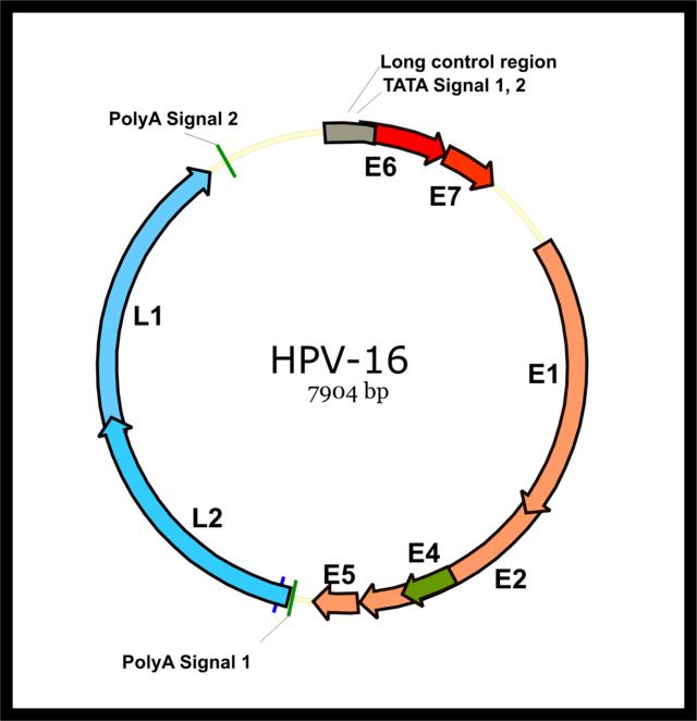 hpv-16 (human papillomavirus) lipoma papilloma