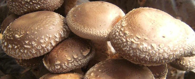 Extractul de ciuperci japoneze - util in tratamentul HPV-ului | constiintaortodoxa.ro