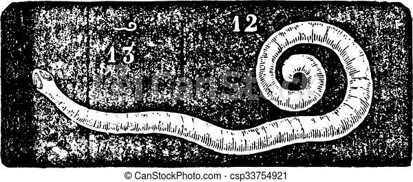 enterobius vermicularis seat worm