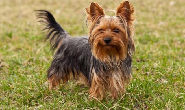 penisul yorkshire terrier