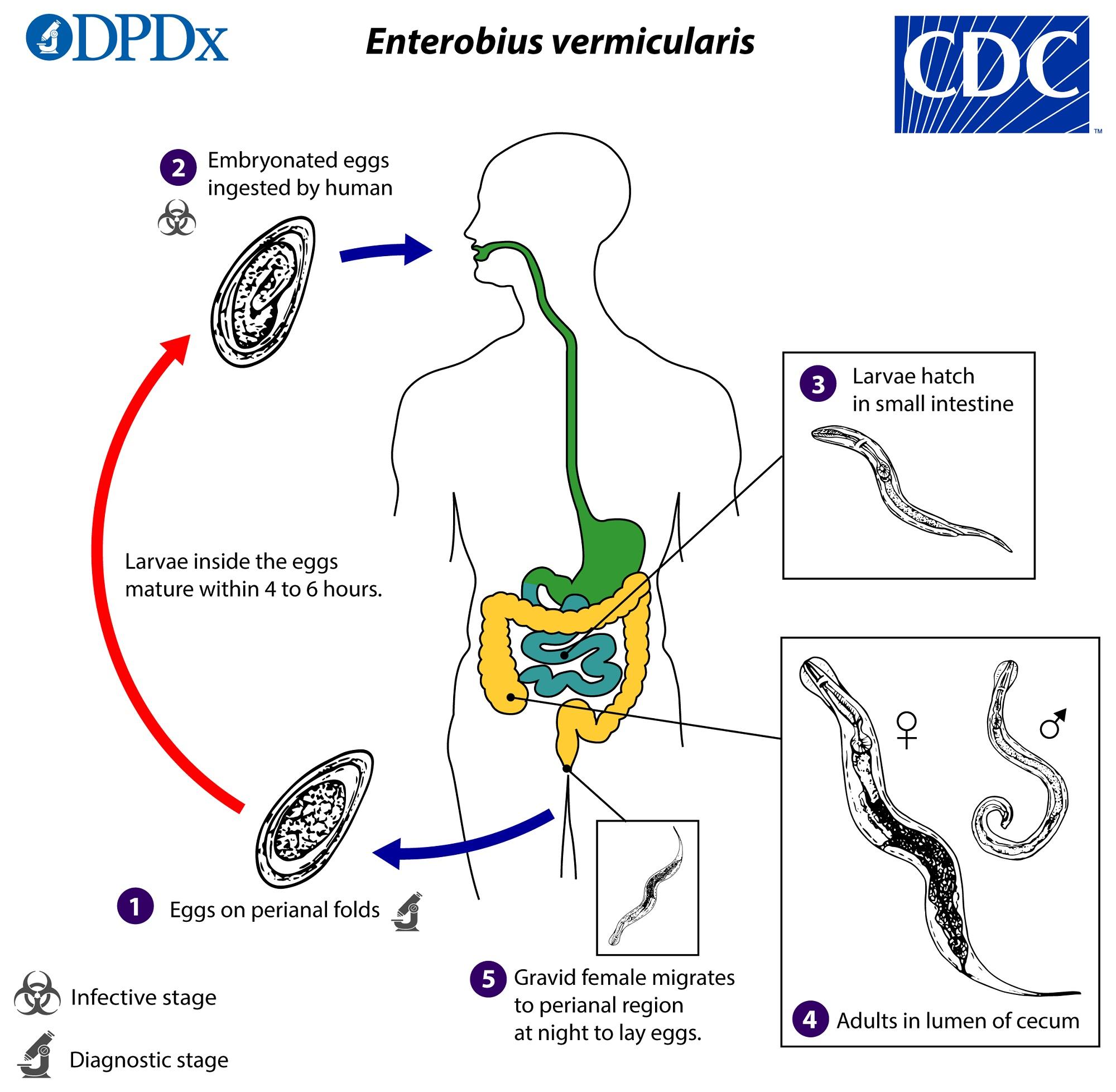 ciclo de oxiuros cancer la san tipuri