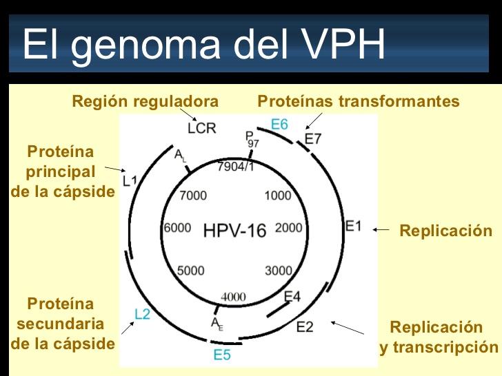 virus de papiloma humano fisiopatologia papilloma sotto occhio
