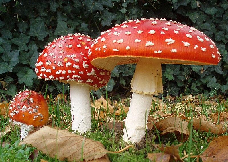 Cum arată ciupercile otrăvitoare și cum se deosebesc de cele comestibile – FOTO