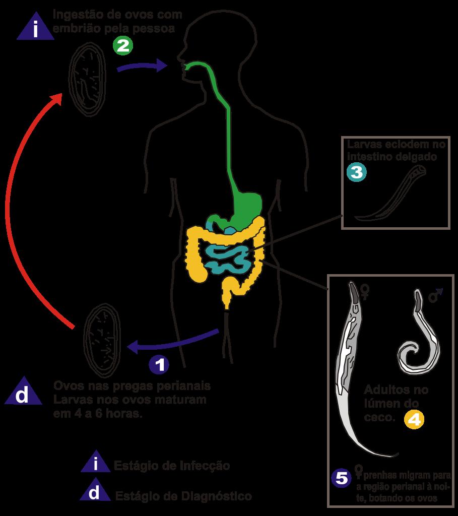 diagnostico de enterobiasis