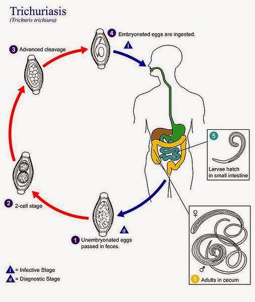 helminthic therapy antibiotics