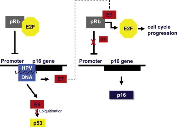 hpv cancer p16 human papillomavirus replication