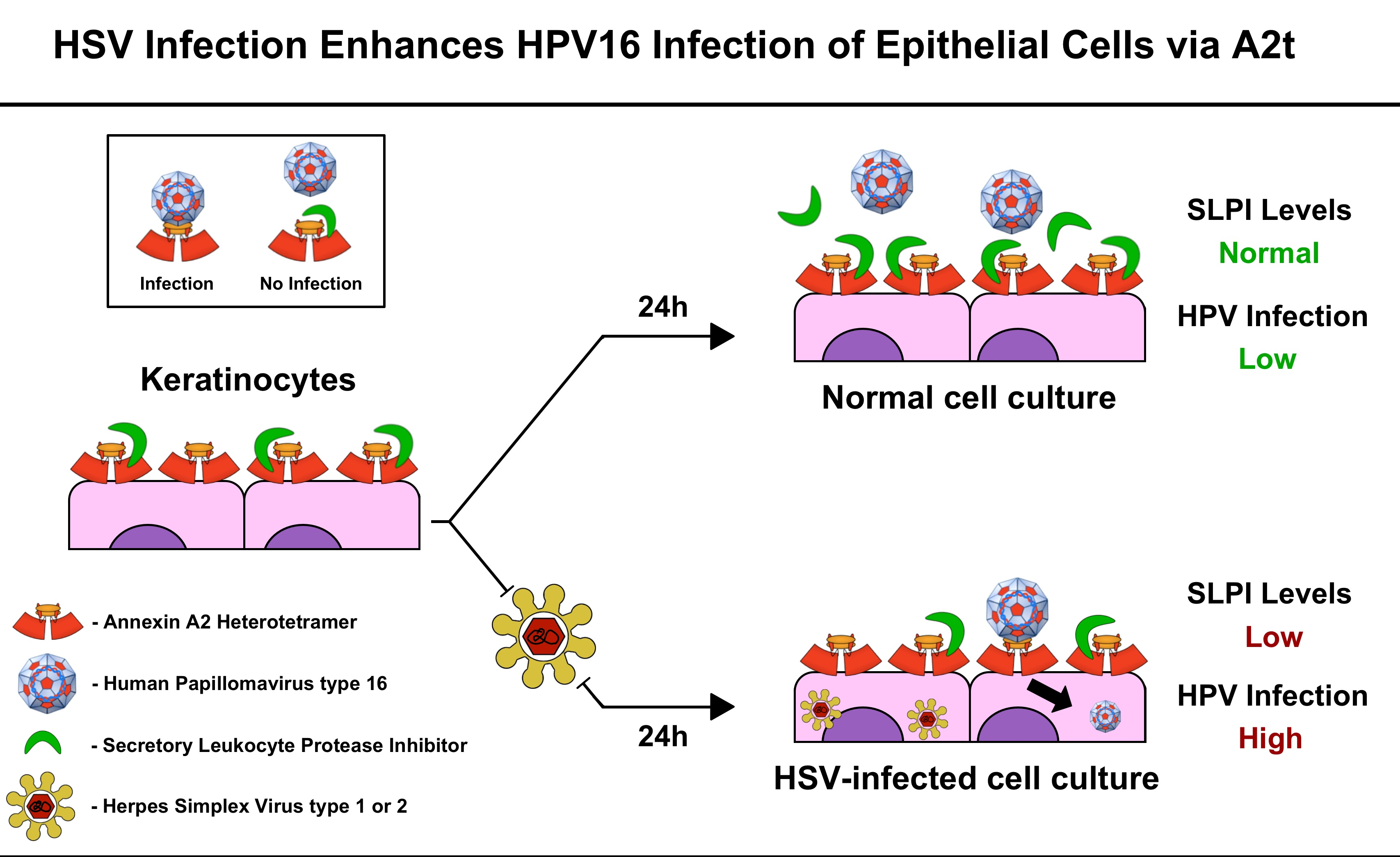 human papillomavirus and herpes cancerul vezical simptome