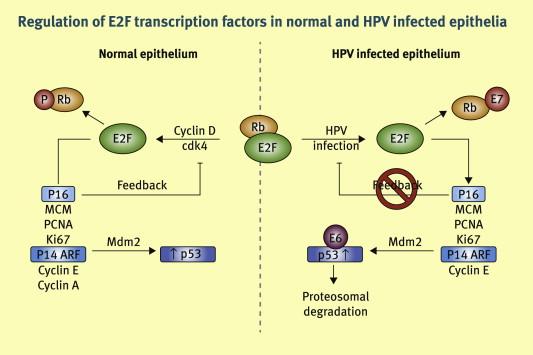 human papillomavirus p16 pastile viermisori adulti