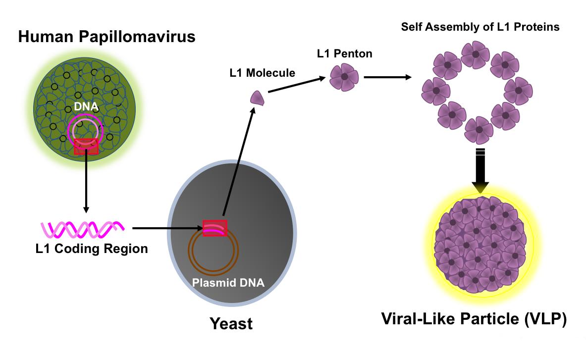 human papillomavirus pathogenesis warts on hands after pregnancy