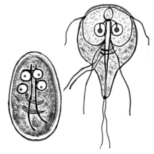 lamblia parazit ovarian cancer epithelial cells