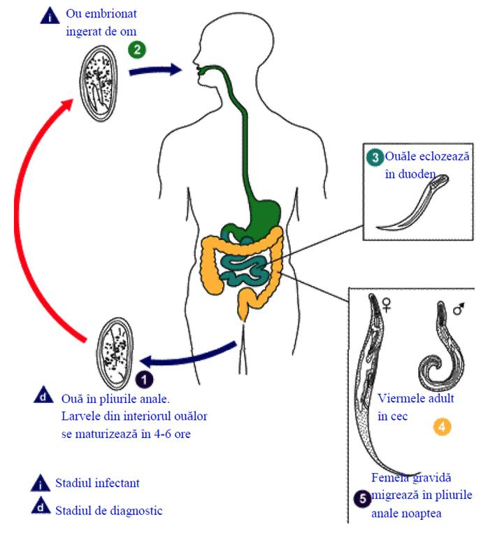 cancer de tiroide auge paraziti 20 cm