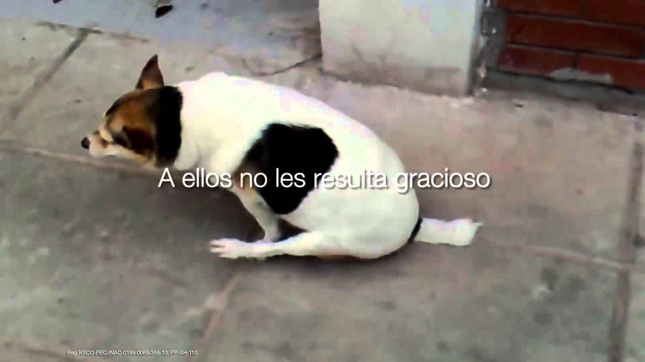 oxiuros tratamiento en perros vestibular papillomatosis white