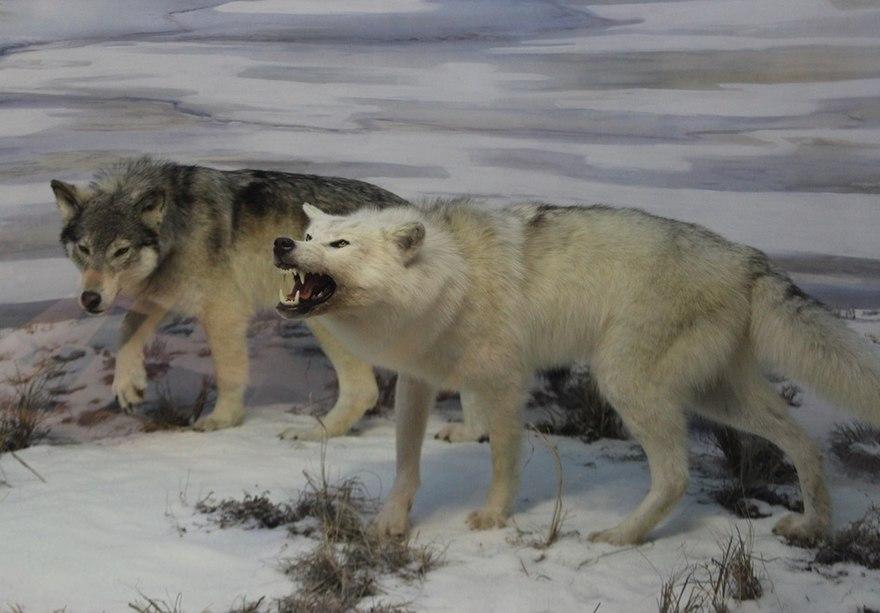 papillomatosis in wolves papilloma virus e verruche plantari
