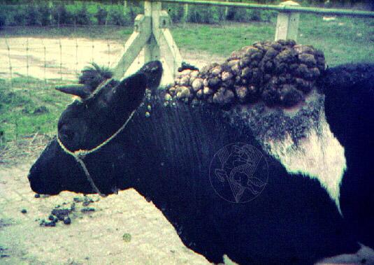 papillomaviridae en bovinos