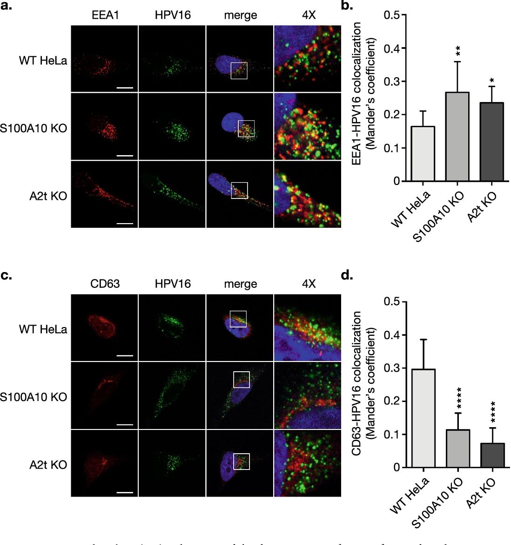 papillomaviruses oncogenic paraziti zmeura