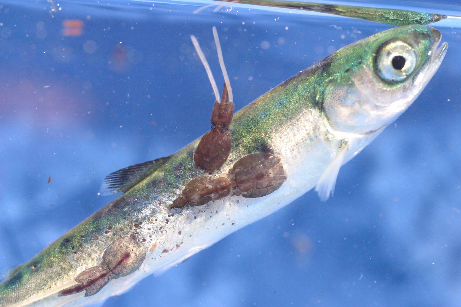 parazit ryba non hodgkins lymphoma cancer