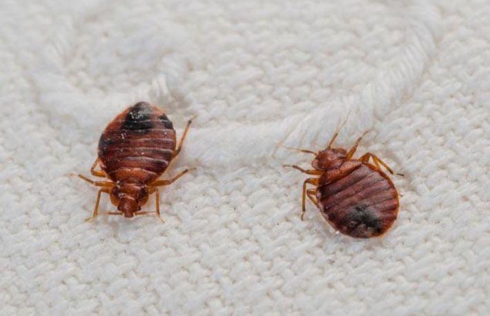 paraziti in pat