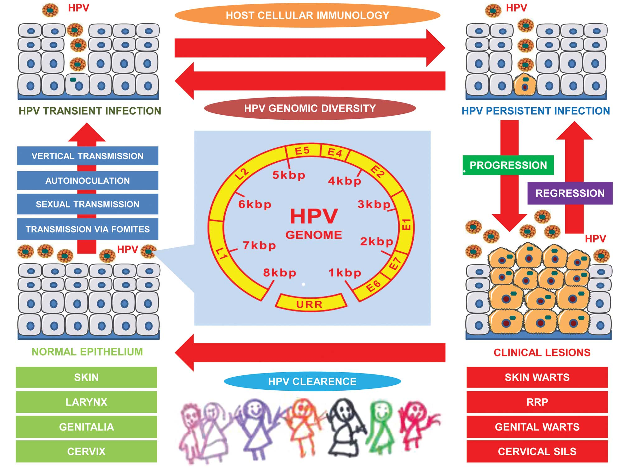 transmission papillomavirus genital