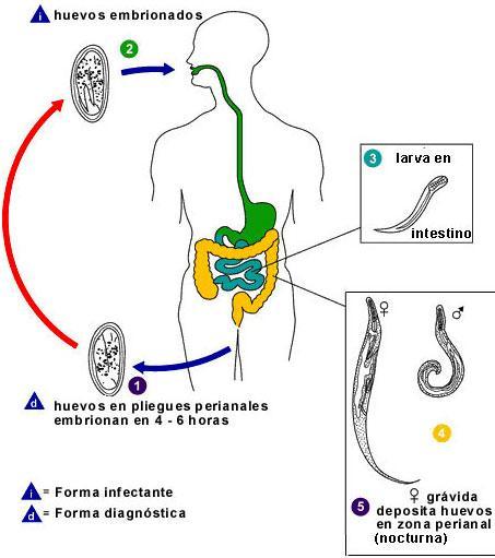 tratamiento de enterobiasis papilloma bladder icd 10