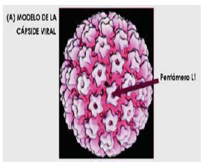 virus del papiloma bajo riesgo hpv 18 cancer risk
