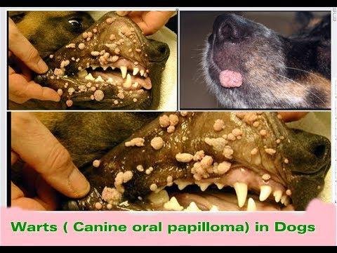 puppy papilloma mouth