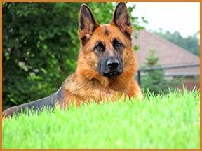 german shepherd papilloma gastric cancer risk factor