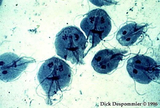 enterobius vermicularis ovo morfologia cauze oxiuri copii